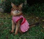 Somali cat in red striped dress