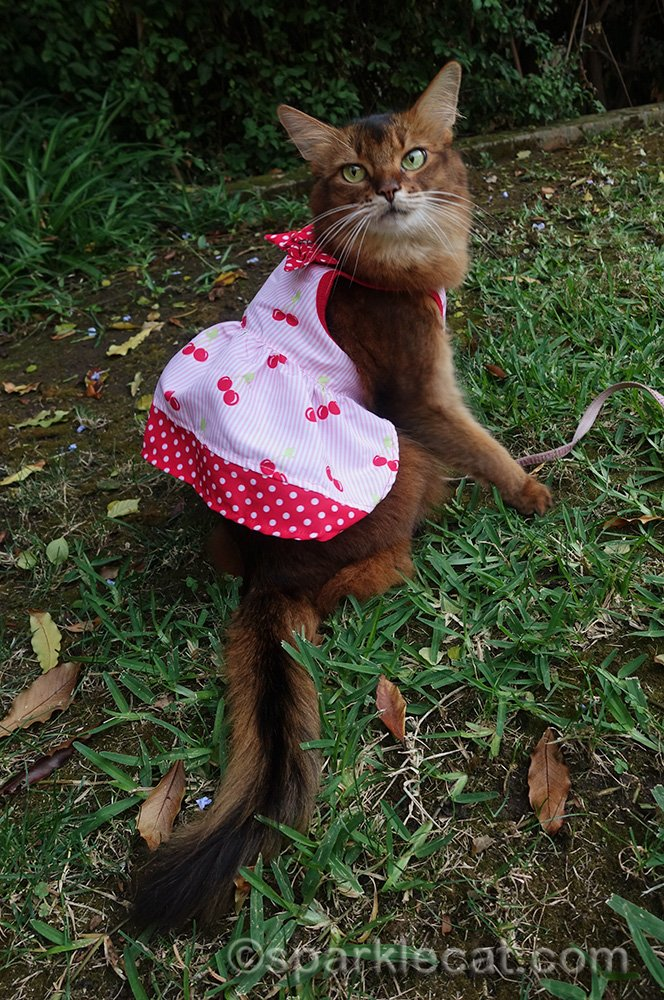 somali cat posing in pretty cherry print dress