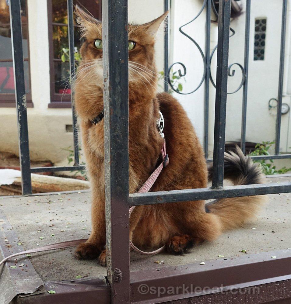 Somali cat behind railing bar