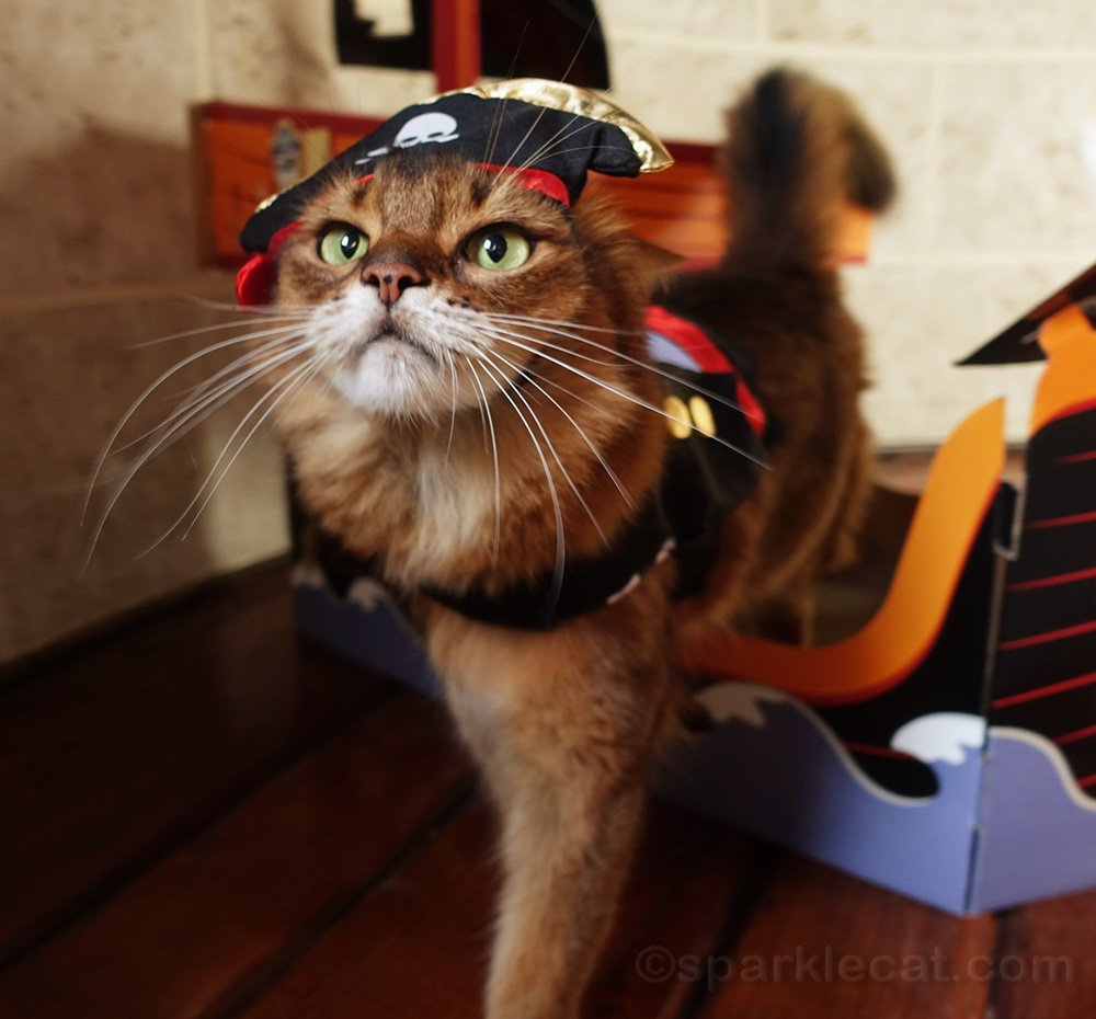Somali cat in pirate outfit, wanting treat