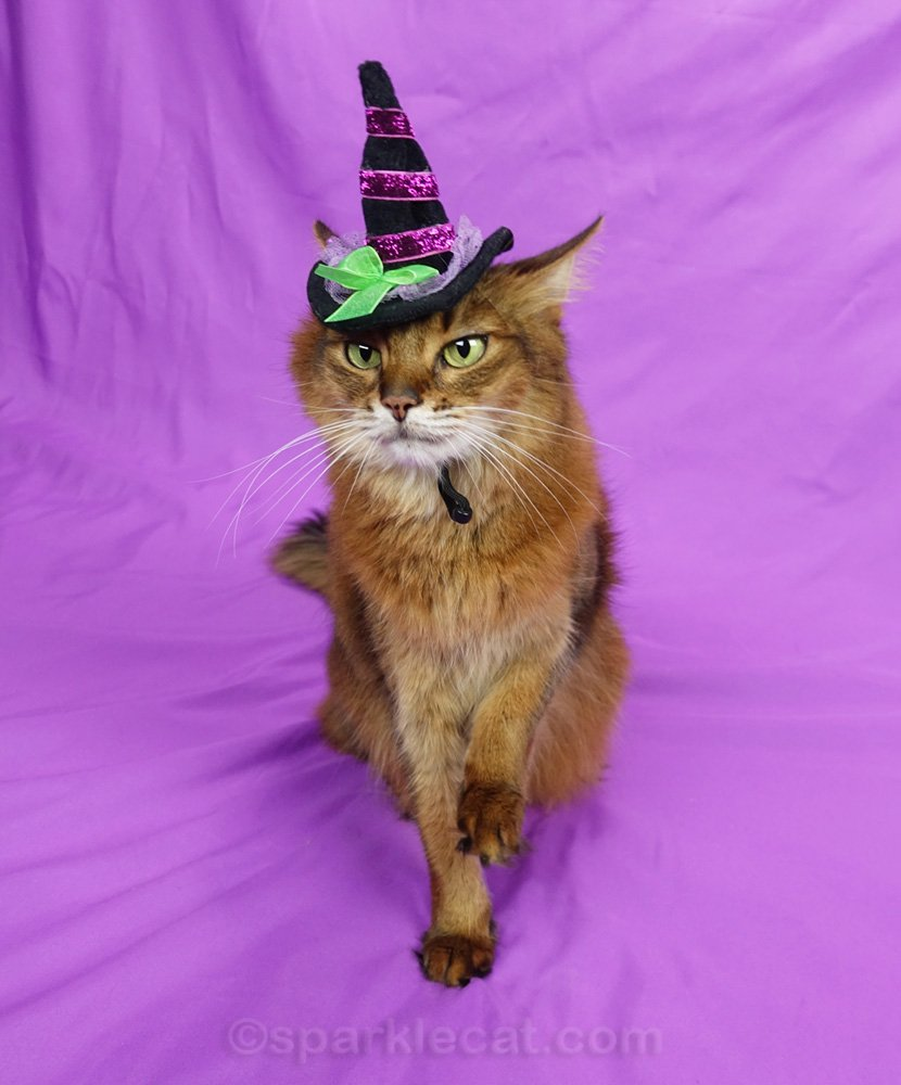Somali cat in witch hat with paw half raised