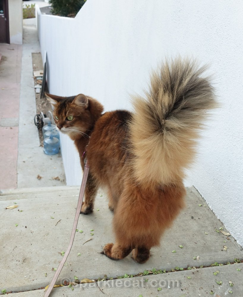 Somali cat at top of stairs, shot from behind
