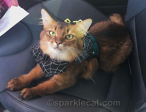 somali cat in car in Halloween collar