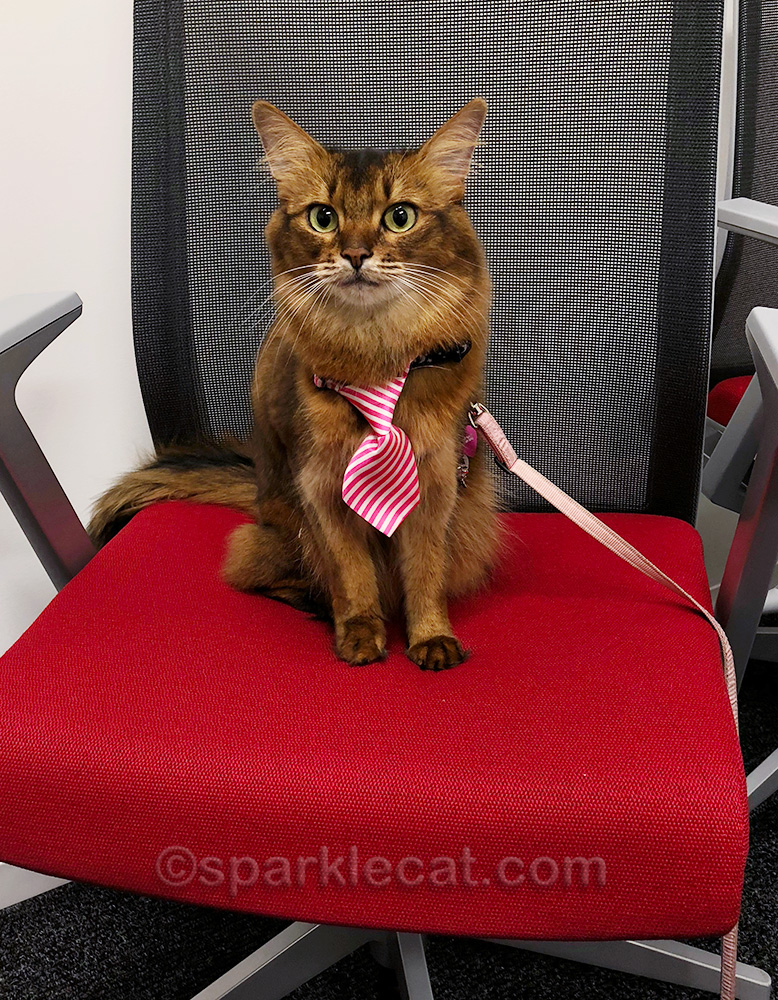 Somali cat sitting on a chair in the LAAS conference room