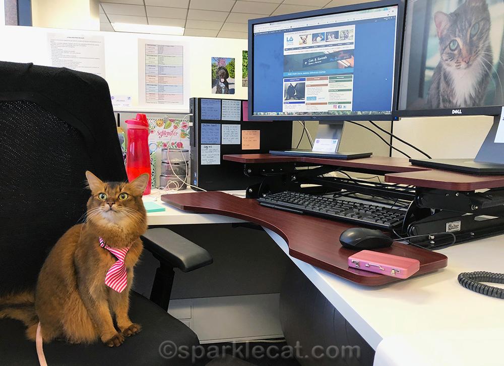 somali cat at LAAS cubicle desk