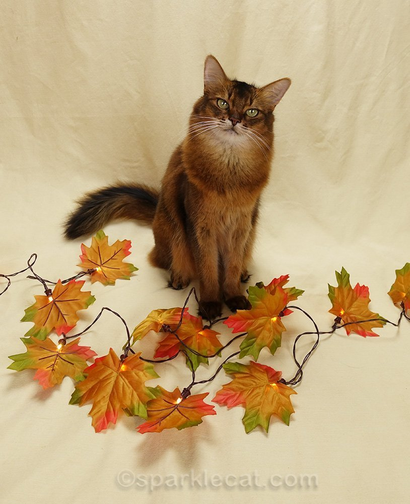 somali cat with light-up faux fall leaves