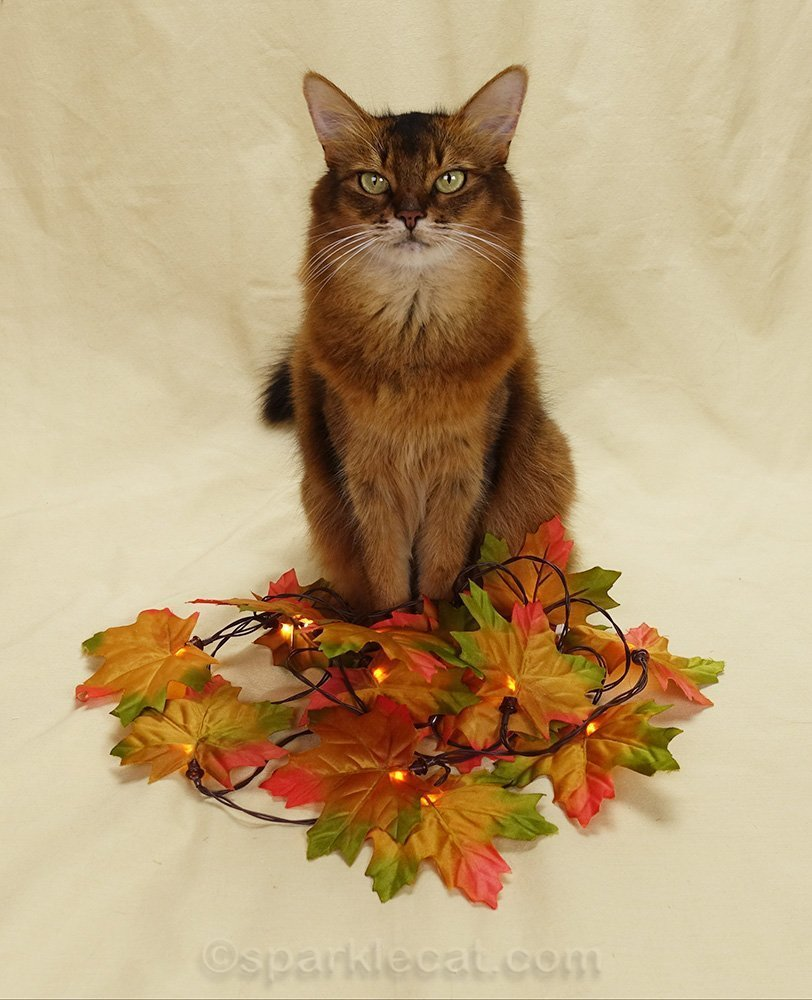 somali cat with a pile of faux fall leaves