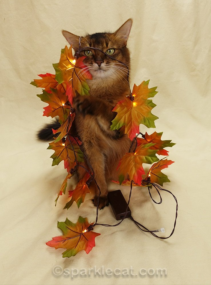somali cat tangled up in faux fall leaves
