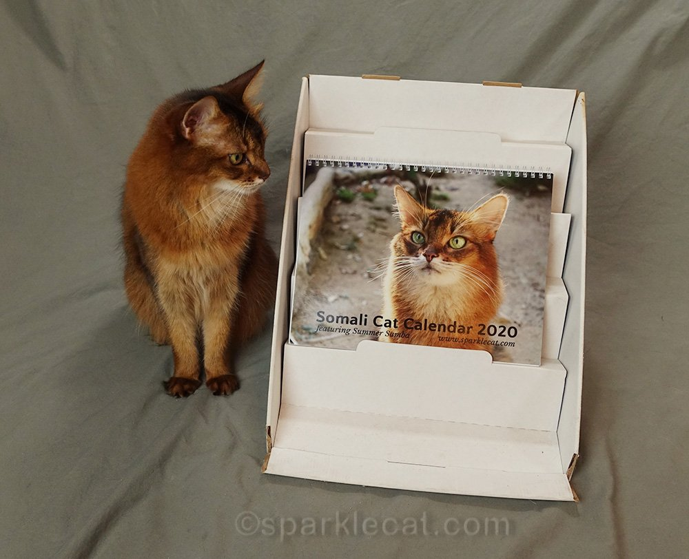 somali cat looking at calendar with wrong date