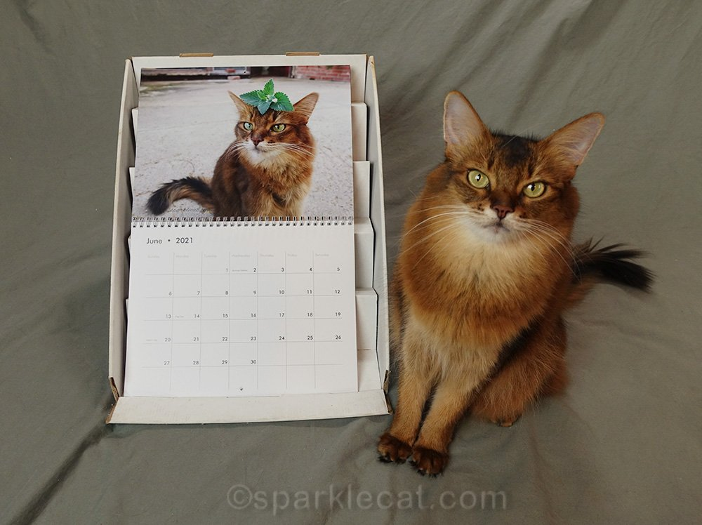 somali cat posing with June 2021 page of her calendar