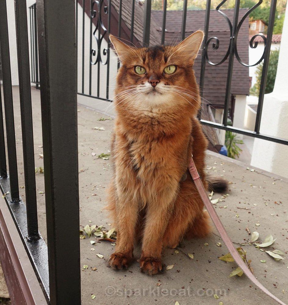 Somali cat on bridge with freshly painted railing