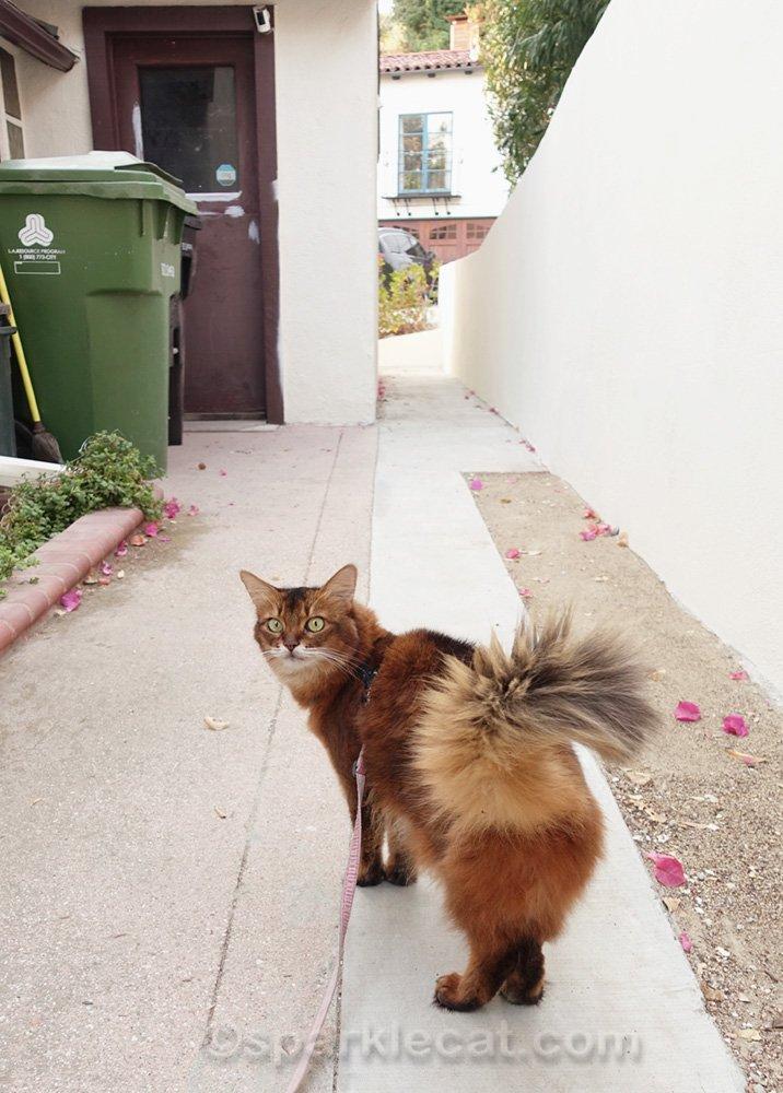 Somali cat on leash on walkway next to kitchen