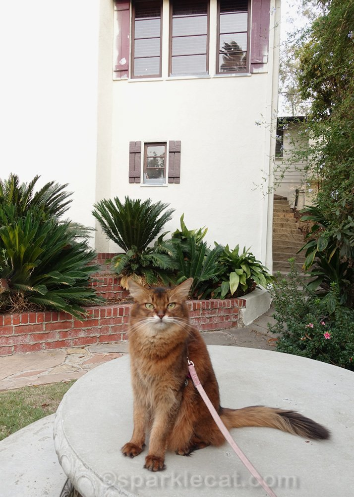 Somali cat on concrete table in front of partially painted house