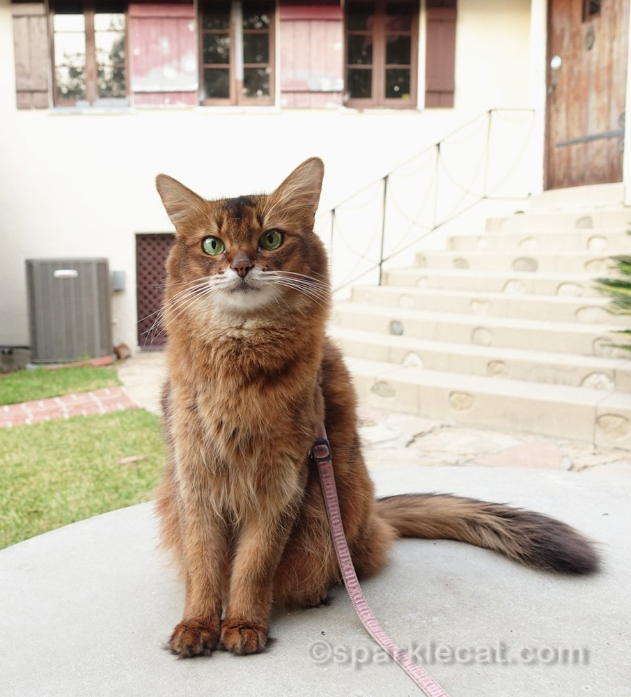 Somali cat in front of partially painted house