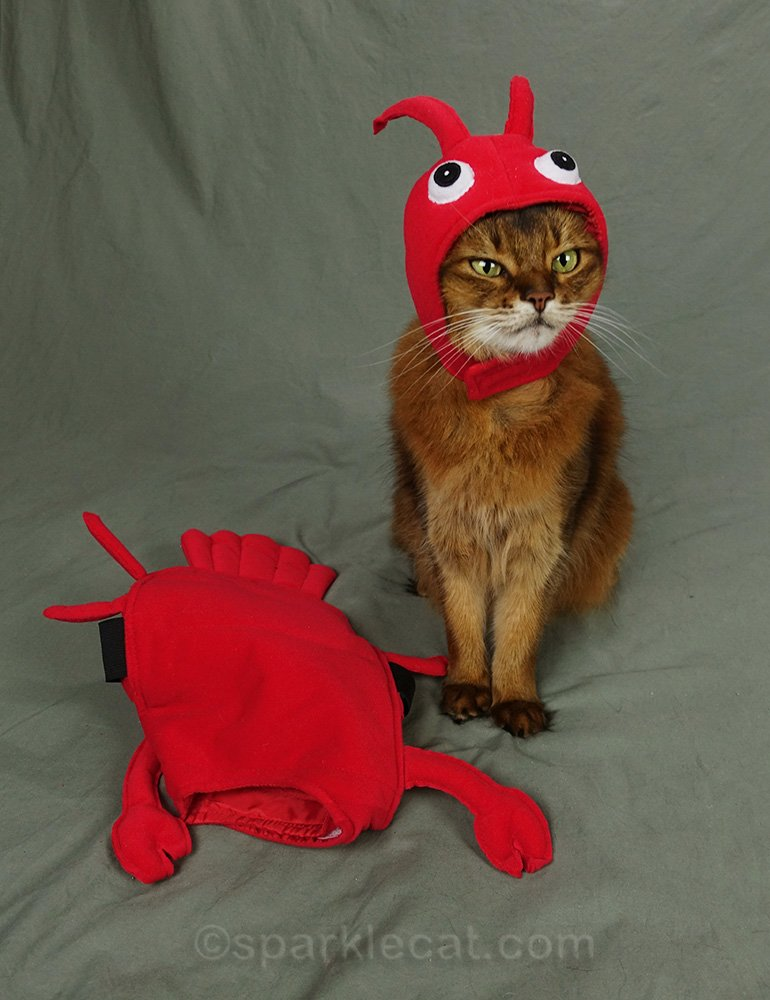 somali cat wearing head part of red lobster costume