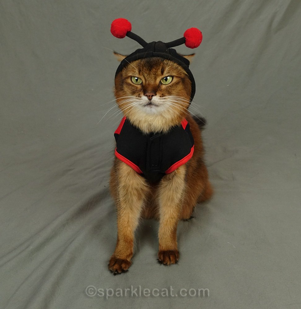 Somali cat in a ladybug halloween costume