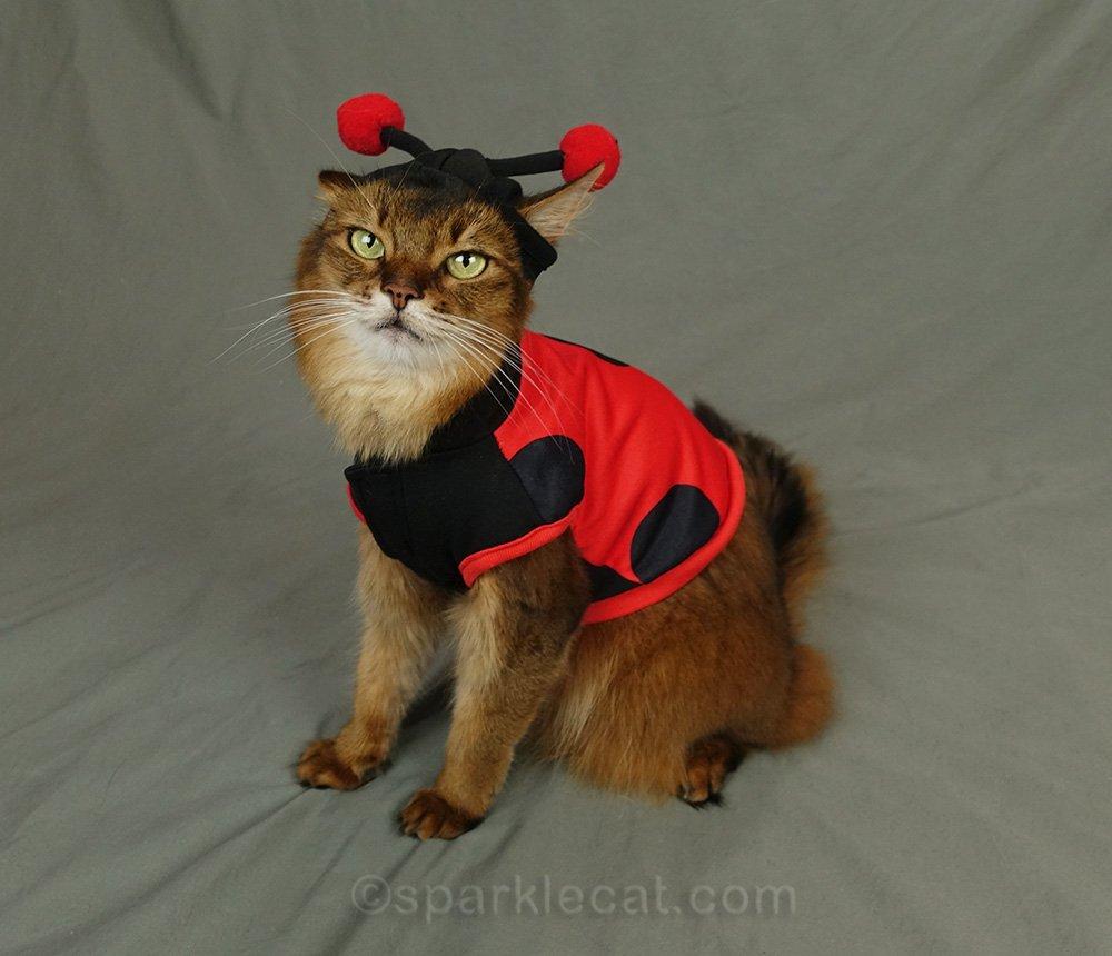 somali cat with ladybug hood asked