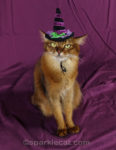 somali cat with witch hat posing as Halloween cat