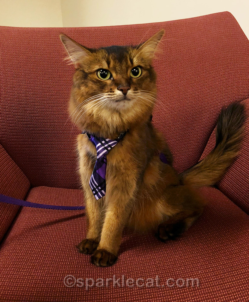 Somali cat ready to offer up some office therapy