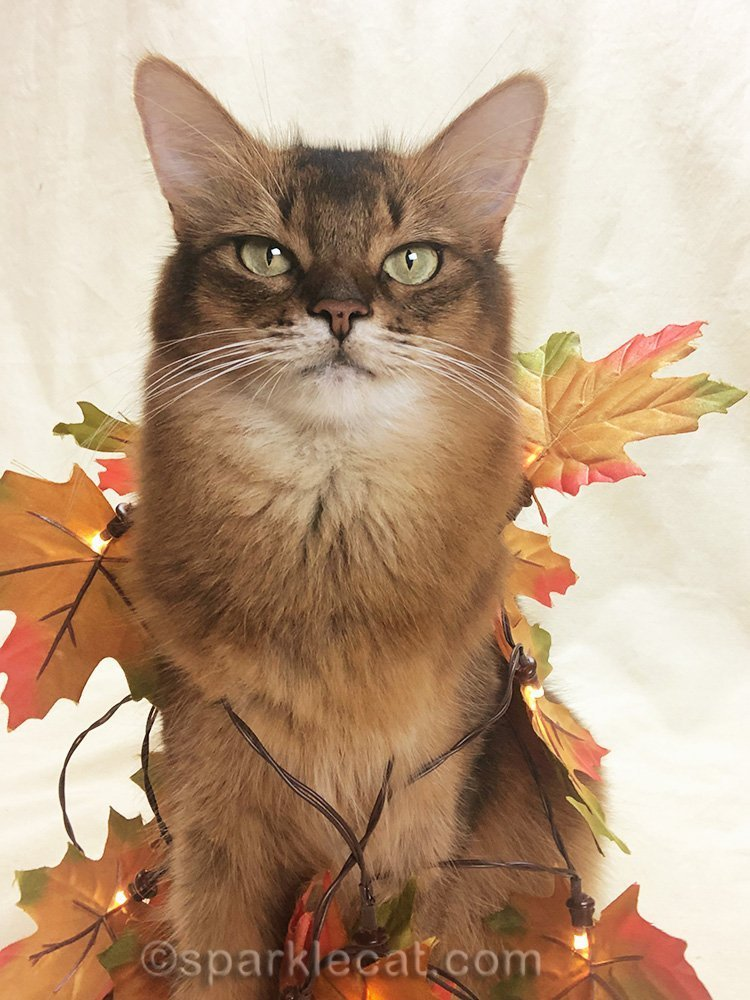 somali cat selfie with fall leaves