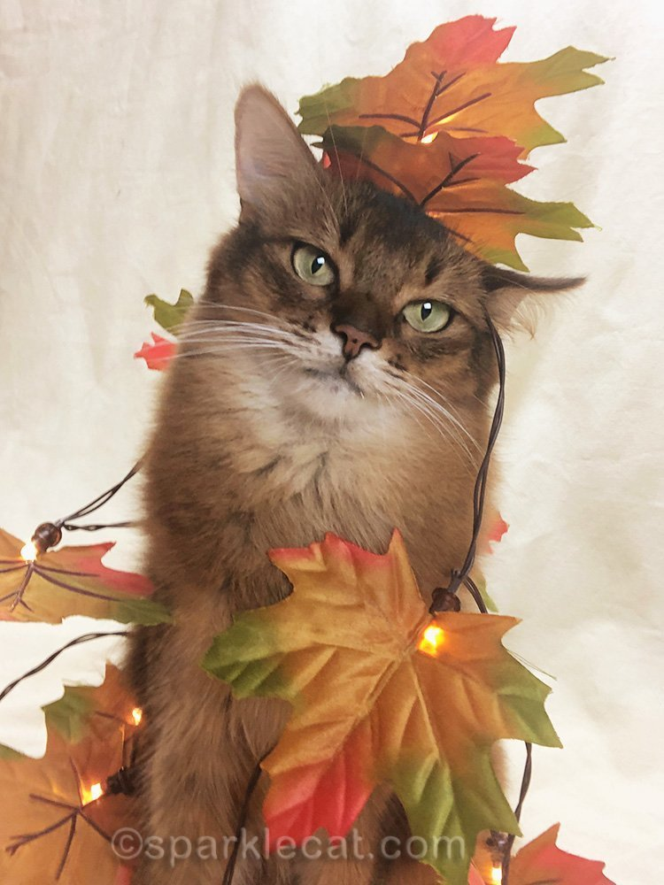 somali cat selfie with fall leaves on head