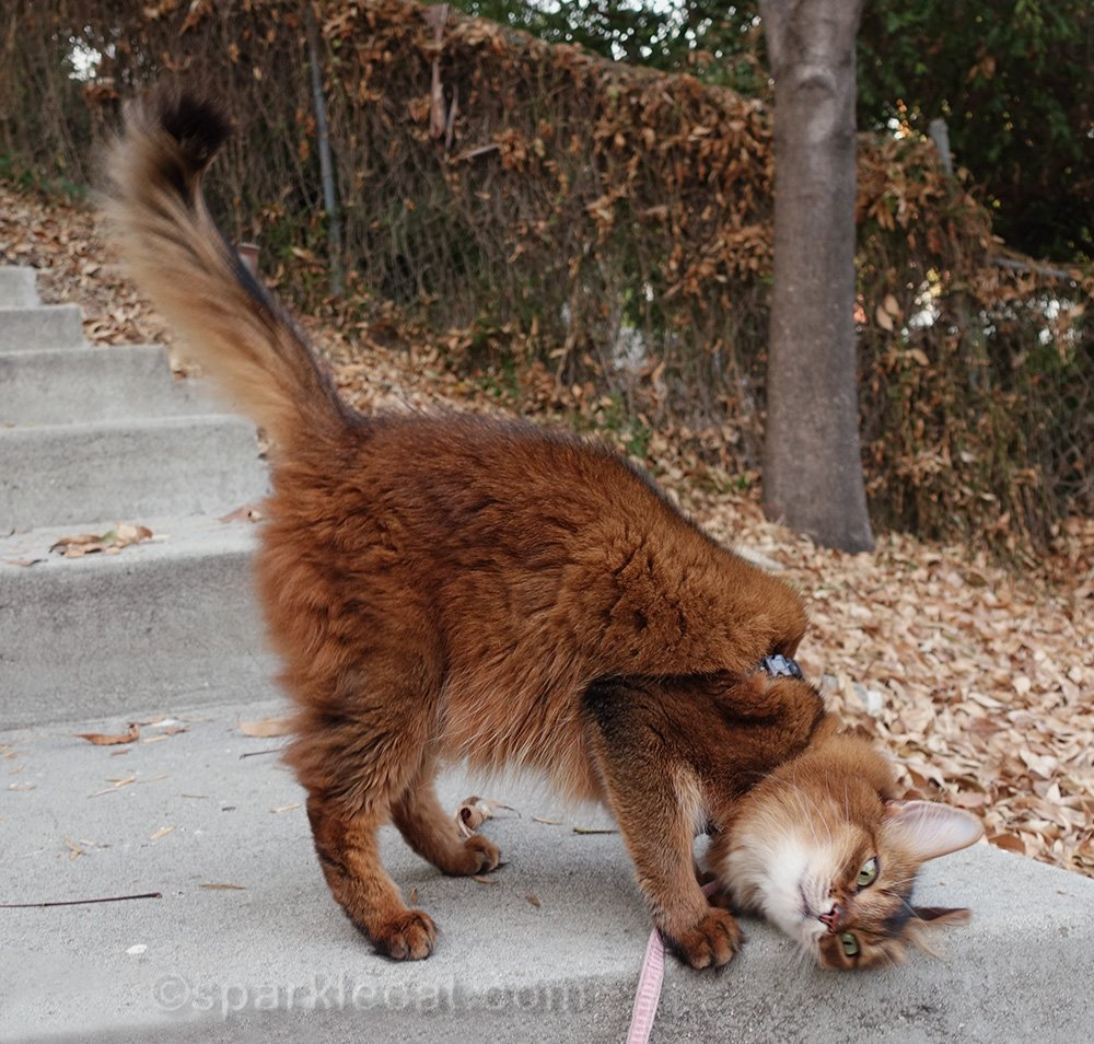 somali cat rubbing on stairs in backyard