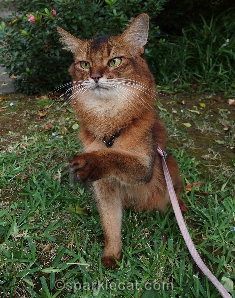 somali cat with paw half raised