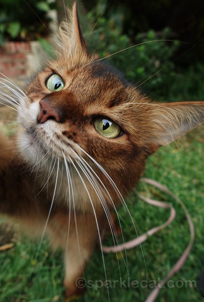 somali cat reaching for camera lens