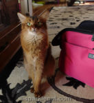 somali cat sitting next to Sleepypod Atom pet carrier