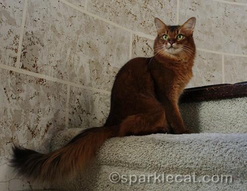 extras of somali cat