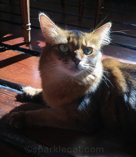 somali cat enjoying a sun puddle