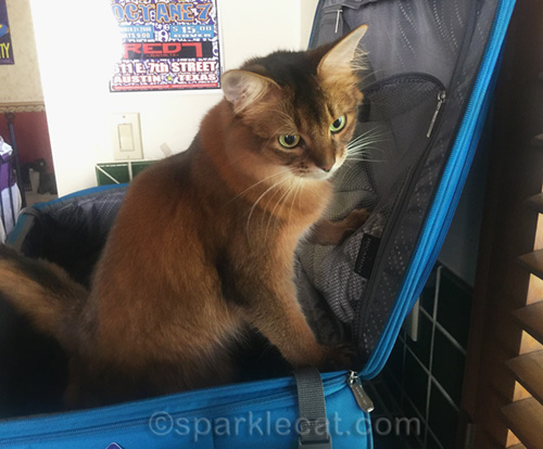 somali cat in turquoise suitcase