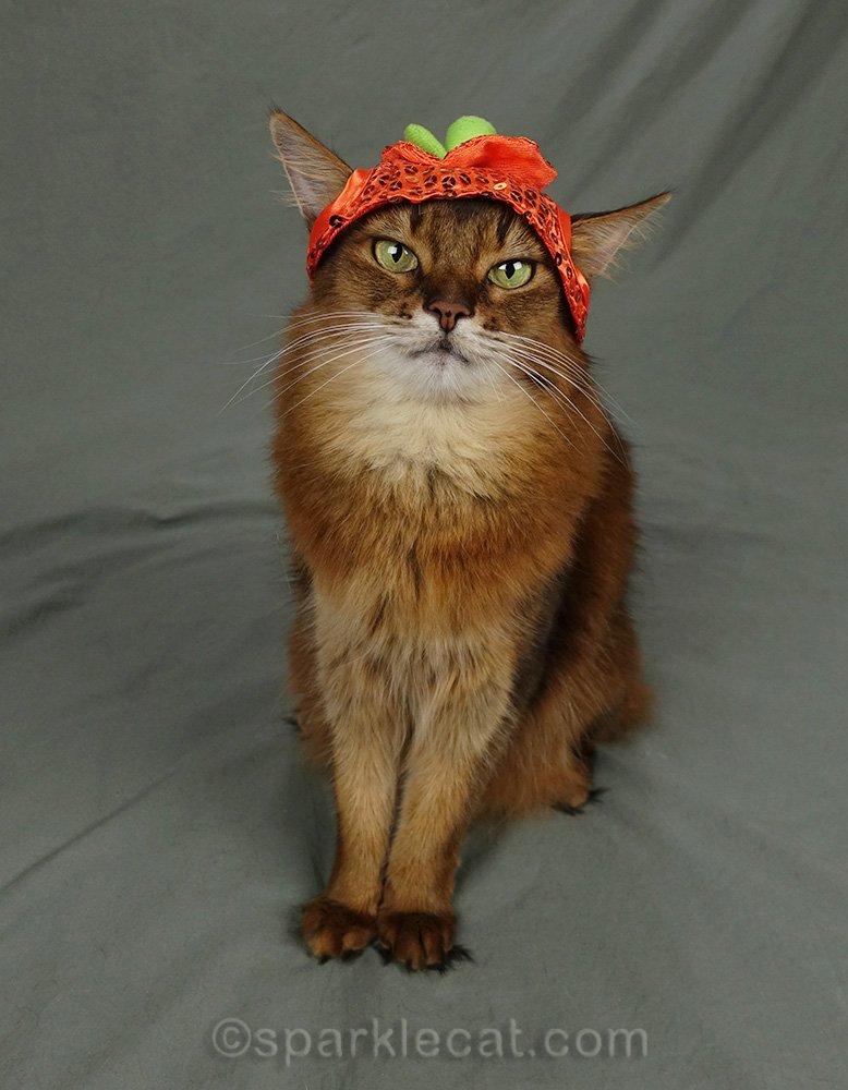 somali cat wearing pumpkin hat