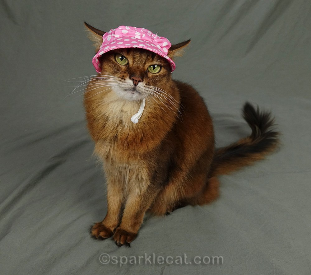 somali cat wearing pink ugly cat hat