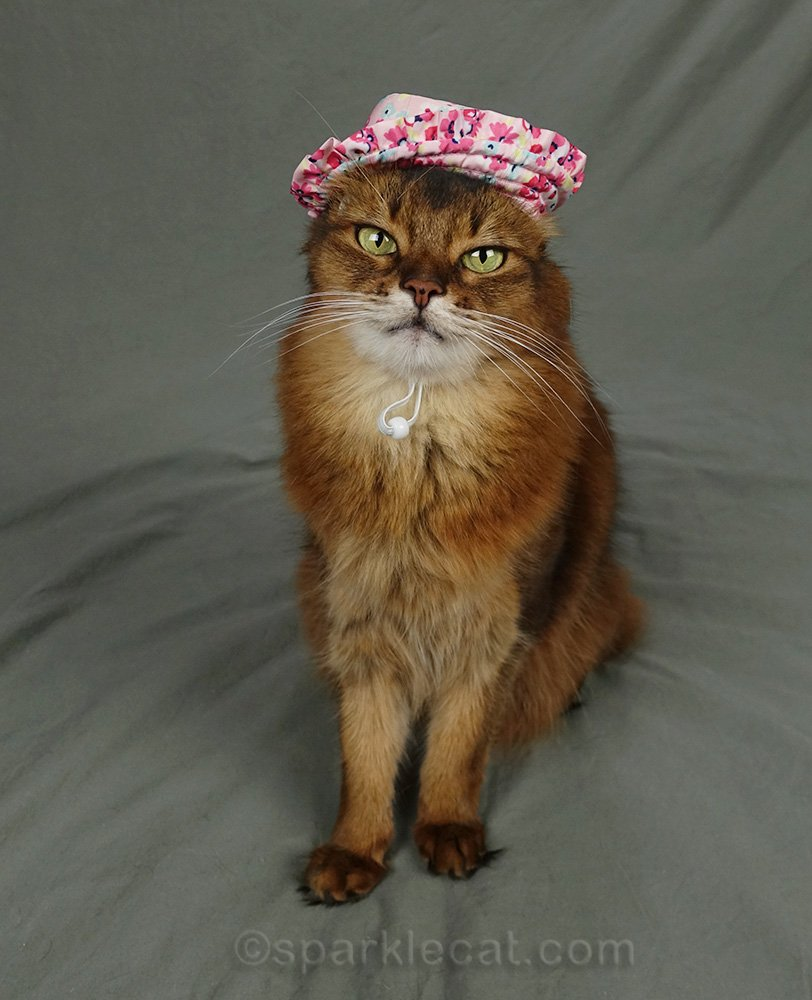 somali cat with both ears tucked under ugly sun hat