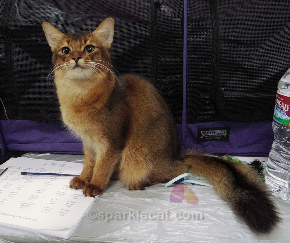 For throwback Thursday, Summer looks back on one of the TICA shows where she competed as a kitten.