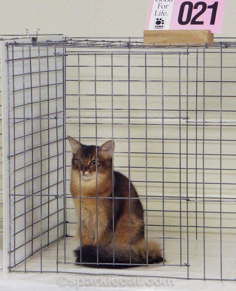 Somali kitten in ring, waiting to be judged