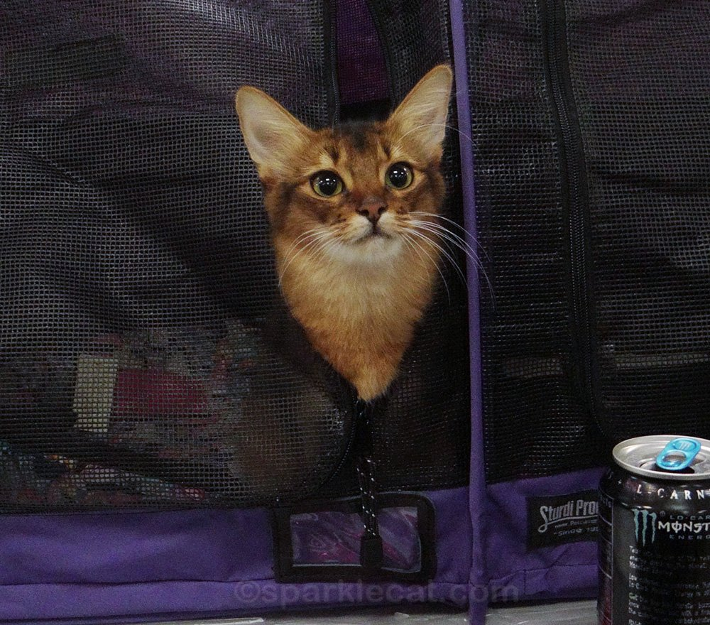 Somali kitten in enclosure at cat show