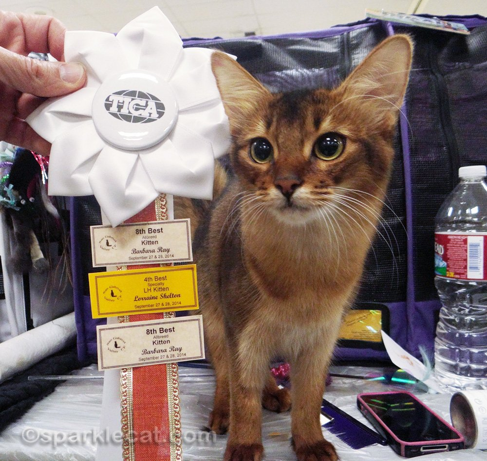 Somali kitten with her ribbon of wins