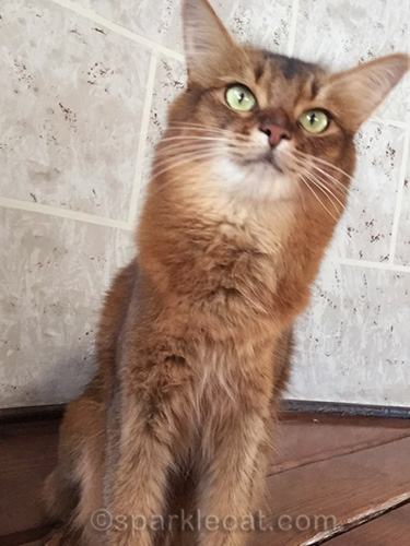somali cat looking over, down staircase