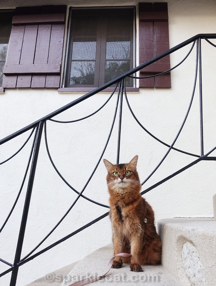 somali cat posing on steps by front door