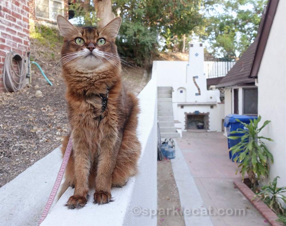 Somali cat sitting on wall by the side of house