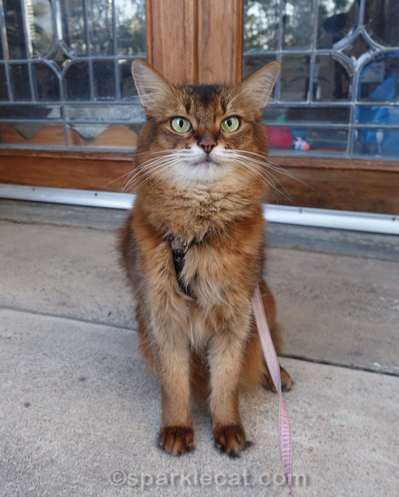 somali cat sitting in front of freshly finished french doors