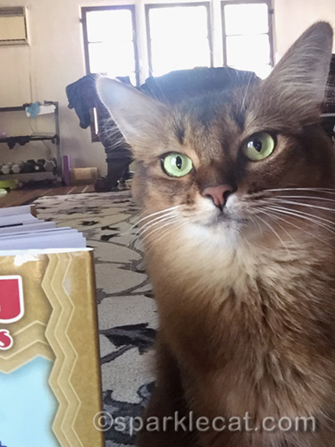 Somali cat taking selfie with book