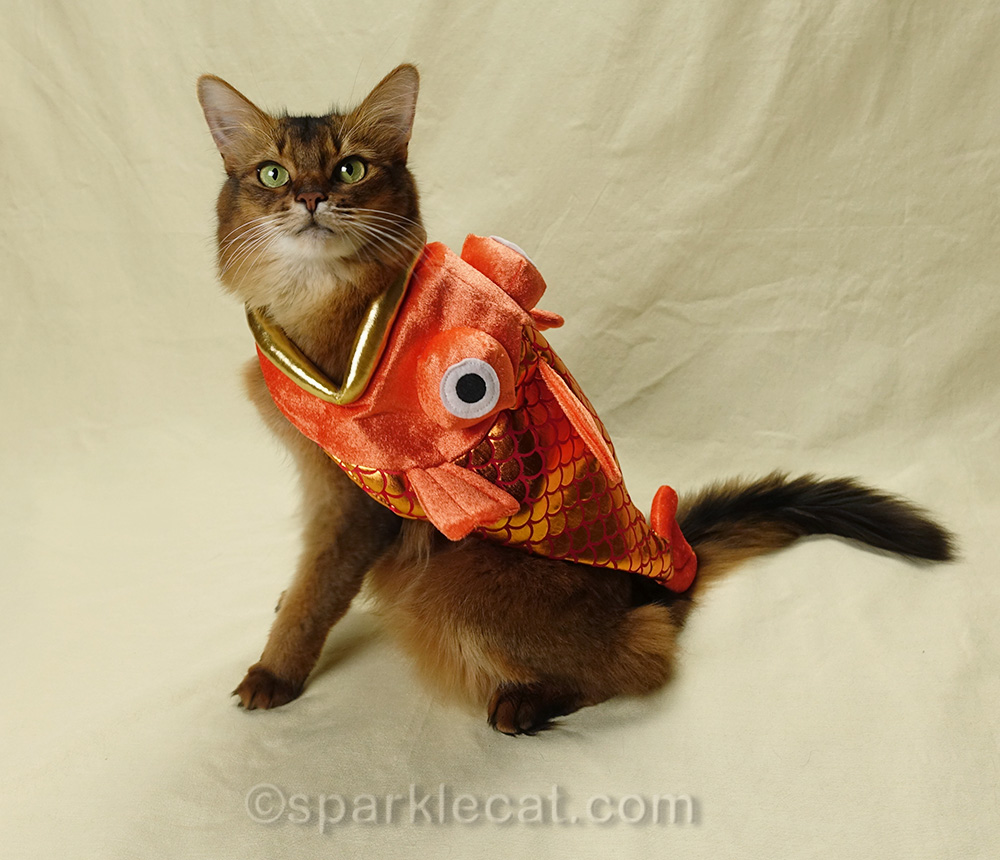 Somali cat wearing fish costume