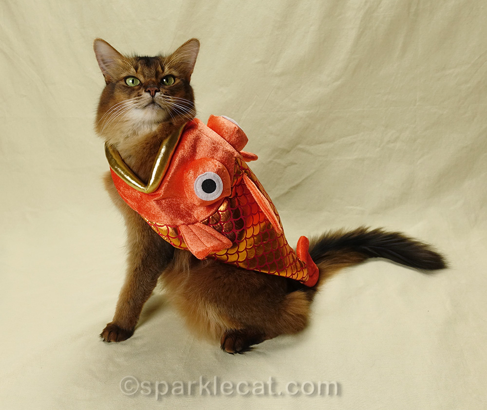 somali cat wearing fish costume and looking over shoulder