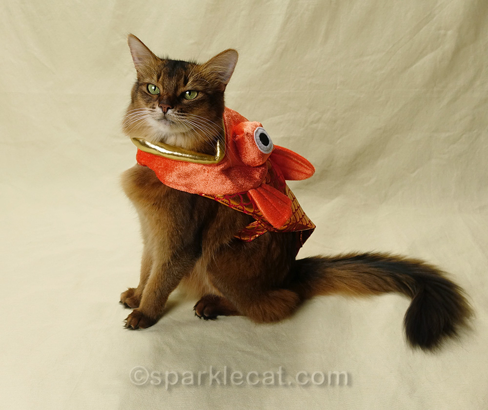 somali cat not looking as happy with fish costume on