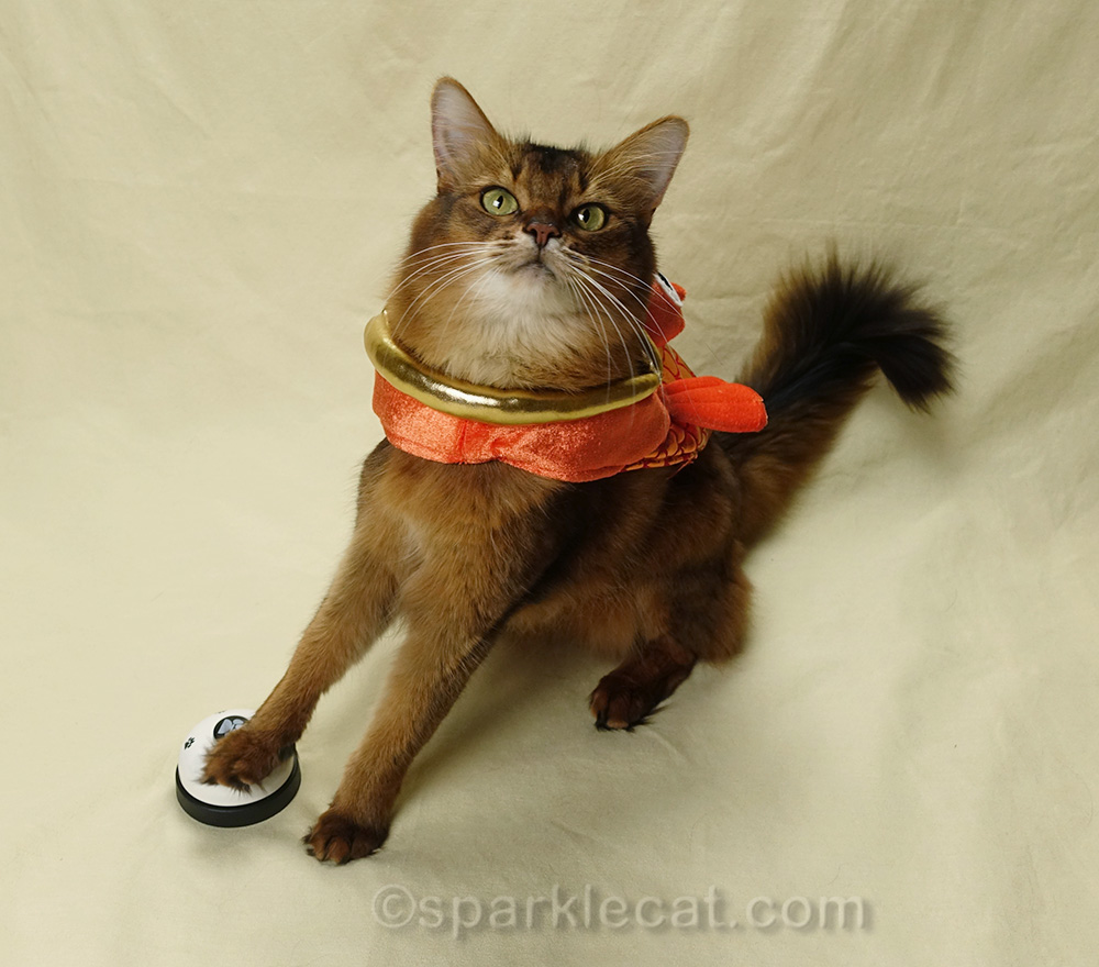 somali cat in fish costume, ringing a bell for treats