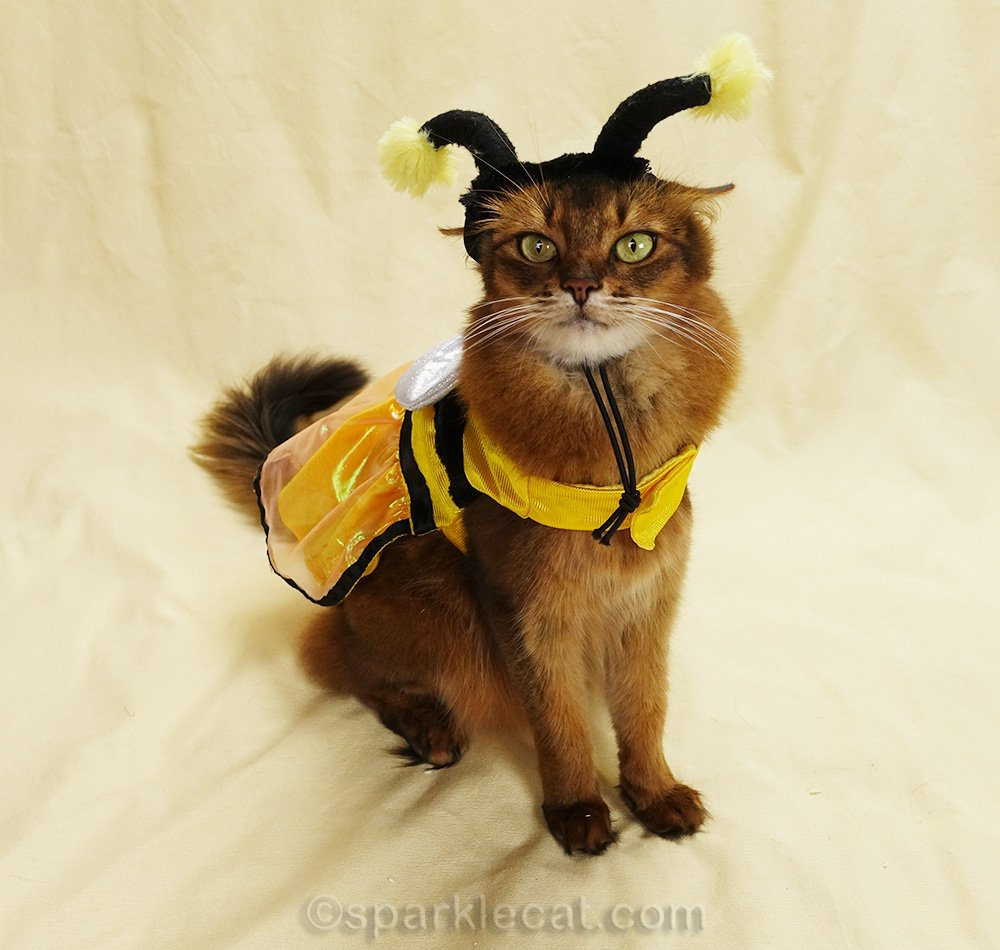 somali cat in another bee costume