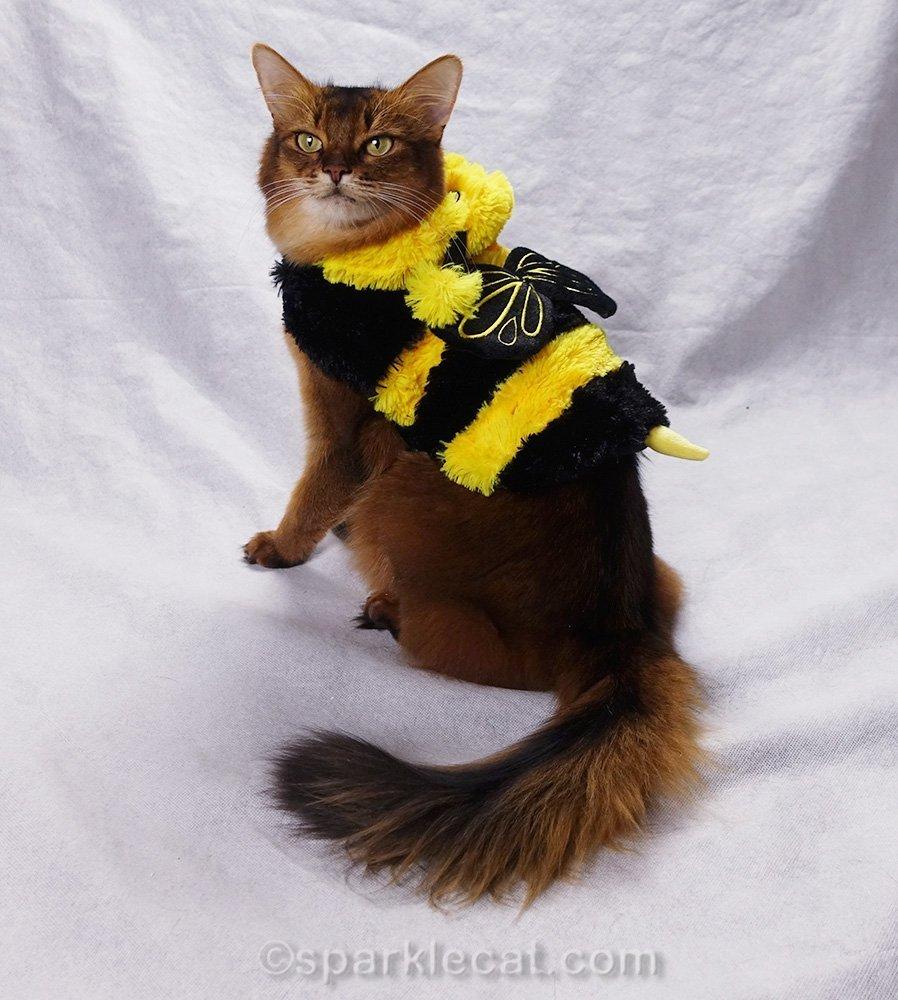 somali cat in bee costume
